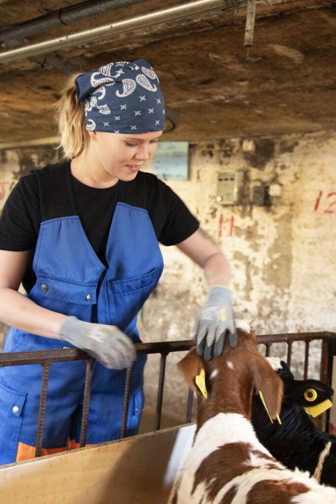 Laura hoitamassa vasikoita