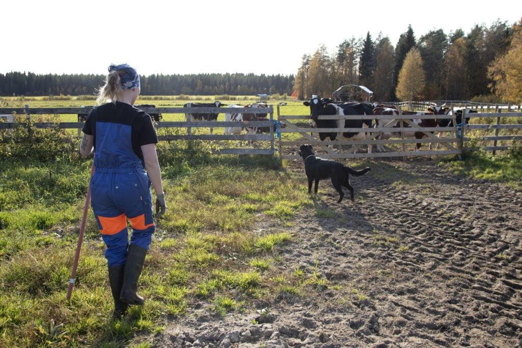 Lehmät odottamassa laitumelta pääsyä