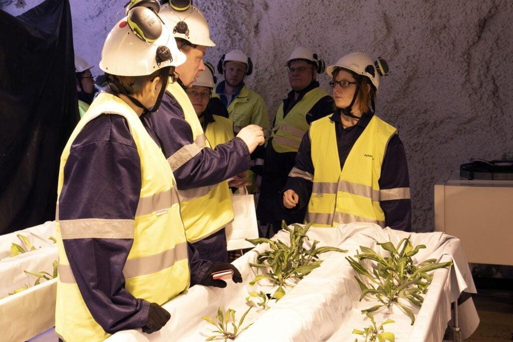 Ryhmä henkilöitä turvavarusteissa katsoo kaivostiloihin tehdyissä Callion kasvatustiloissa morsinkokasveja.